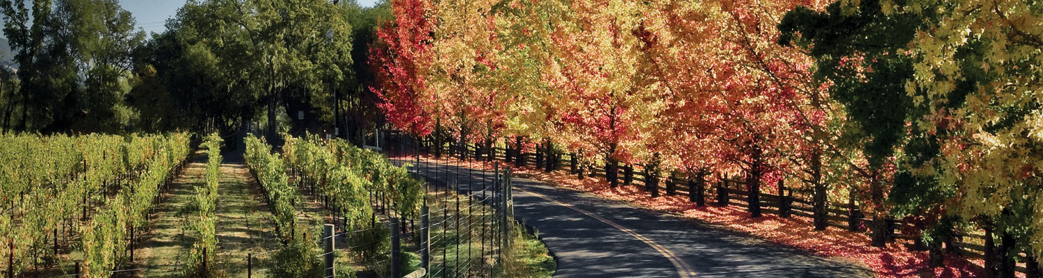 healdsburg fall scene. road in between vineyards and fall colored trees.